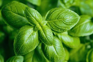 basil-with-wet-leaves